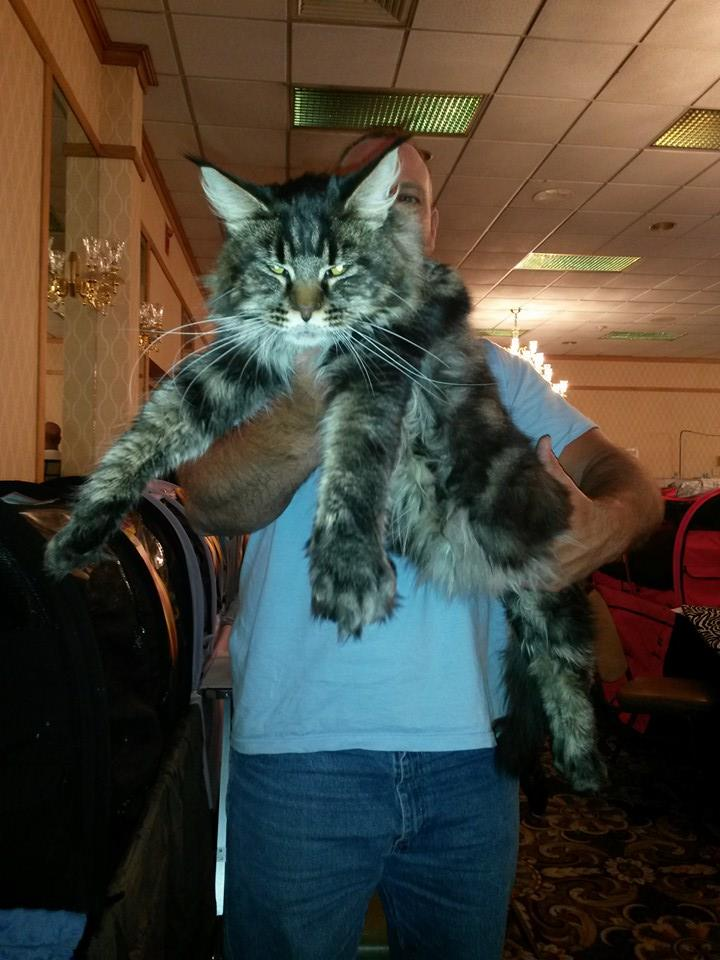 DCFD MAINE COONS - TICA SHOW PROGRESS
